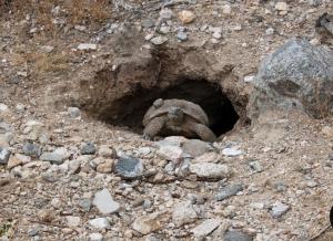 Tortoise in new burrow