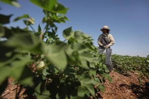 Worker in subsidized cotton field