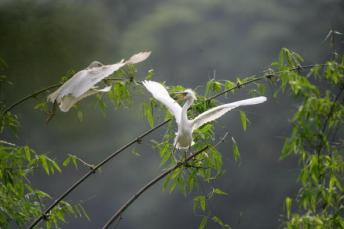 Egrets Under Breeding in bamboo forest (Photo China Photo/Getty Images)