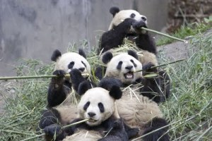 Panda family dinner on bamboo