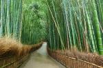 path through bamboo grass