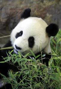 bamboo dinner for Panda