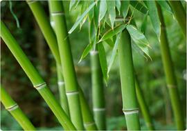 Bamboo Plant Image