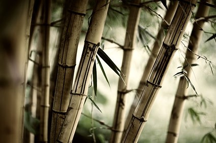 Bamboo forest close up in brown tones.