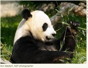 PandaHavingLunch